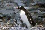 Gentoo Penguins and Chicks (Pygoscelis Papua) at Rookery in Paradise Harbor  Antarctica