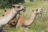 Camels at Lewa Conservancy  Kenya  Africa