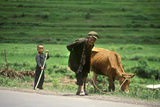 Farmer with Son and Cow in Kunming  Yunnan Province  People's Republic of China