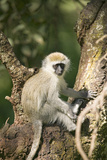Vervit Monkey Sitting in Tree Outside of Lewa Wildlife Conservancy  North Kenya  Africa