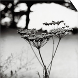 Queen Anne's Lace Flower