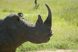 Closeup of Endangered White Rhino at Lewa Wildlife Conservancy  North Kenya  Africa