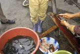 Preparing Eels in Bei Marketplace in Dali  Yunnan Province  People's Republic of China
