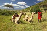 Masai in Red Robe and Camels and Acacia Tree at Lewa Conservancy  Kenya  Africa