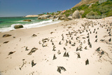 Penguins at Boulders Beach  Outside of Cape Town  South Africa