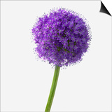 Purple Allium