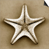 Sugar Starfish Bottom