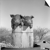 1950s Two Duroc Pigs Piglets in a Nail Keg Barrel Farm Barn in Background Pork Barrel Cute