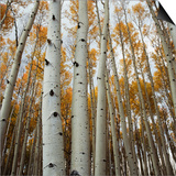 Grove of Coloful Aspens in Fall
