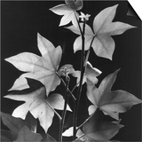 Leaves by Brett Weston