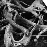 Dead Tree Roots