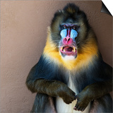 Picture Of A Colourful Displeased Mandrill
