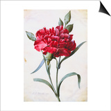 A Dark Red Carnation