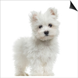 Maltese Puppy Standing  Looking At The Camera  2 Months Old  Isolated On White