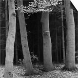 Beech Forest  Netherlands  1971