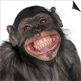 Close-Up Of Mixed-Breed Monkey Between Chimpanzee And Bonobo Smiling  8 Years Old