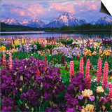 Iris and Lupine Garden and Teton Range at Oxbow Bend  Wyoming  USA
