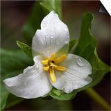 Trillium Flower  Mount Baker-Snoqualmie National Forest  Washington  USA