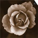 Rose - Duotone