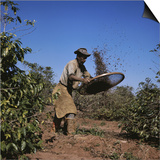 Sifting Coffee Beans Nova Esperanca Parana  Brazil
