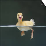 Duckling Swimming on Water Surface  UK
