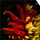 Flamenco Duotoned Chrysanthemum