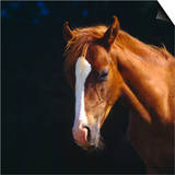 Chestnut Horse with White Blaze  Head Portrait