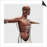 Anatomy of Male Muscles in Upper Body  Side View