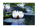 Water Lily Still