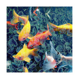 Ornamental Fishes