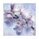White Lavender Orchid