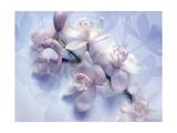 Lavender White Orchid