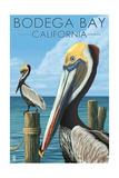 Bodega Bay  California - Brown Pellican