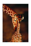 Girafe et son petit Reproduction d'art par Lantern Press