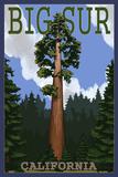 Big Sur  California - Redwood Tree