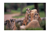 Meerkats Working