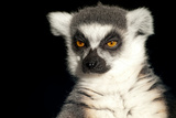 Ring Tailed Lemur Up Close