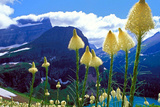 Glacier National Park  Montana - Beargrass in Bloom