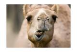 Camel Up Close