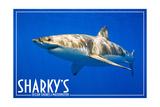 Ocean Shores  Washington - Great White Shark