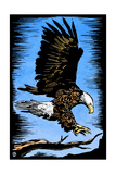 Bald Eagle - Scratchboard