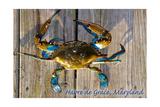 Harve De Grace  Maryland - Blue Crab on Dock