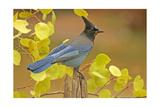 Stellar Blue Jay
