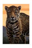 Solo Jaguar