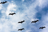 Pelicans Flying over Beach Photo Poster Print