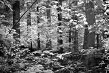 Appalachian Trail Massachusetts Forest Black White Photo Poster