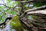 Strangler Fig Tree in Jungle Photo Poster Print