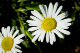 Daisy Flower Photo Poster Print
