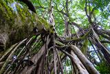 Strangler Fig Tree in Costa Rica Photo Poster Print