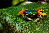 Halloween Crab on Rock in Costa Rica Photo Poster Print